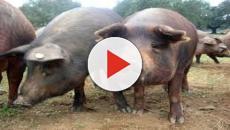 VÍDEO: La fiebre porcina AH1N1