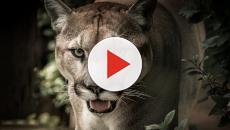 Washington: puma uccide ciclista nei boschi, il secondo caso in 100 anni