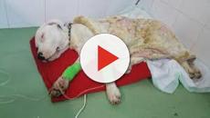 VÍDEO: La parvovirosis canina: una gastroenteritis hemorrágica