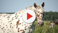 VÍDEO: El Appaloosa, una hermosa raza de caballos