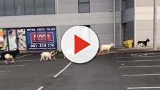 Ennis: città irlandese in balia di capre selvatiche e aggressive