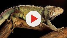 VIDEO: La iguana en coco gastronomía zuliana ¡debes probarla!