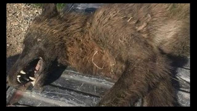 Criatura como un lobo, asesinado en el desierto de Montana