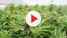 Corriere della droga sui generis: 1kg di marijuana nell'utero