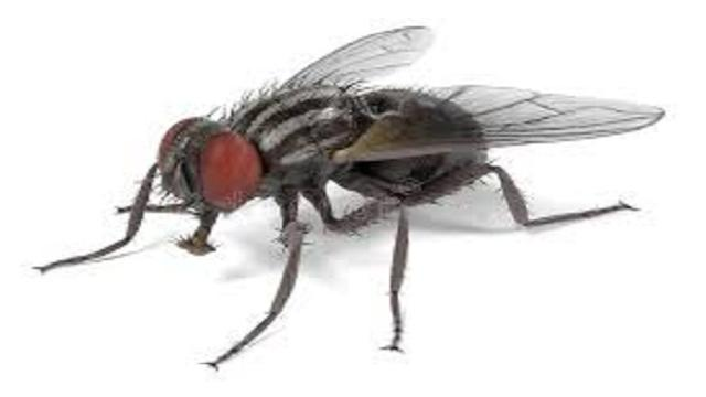 VIDEO: La mosca domestica o mosca común