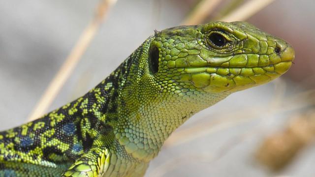 La madre de todos los lagartos encontrados en los Alpes italianos