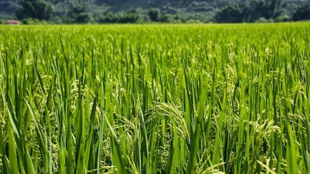 Cómo se puede haber extendido el cultivo del arroz en el mundo antiguo