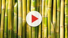 La plaga de la caña de azúcar produce espuma para protegerse del calor