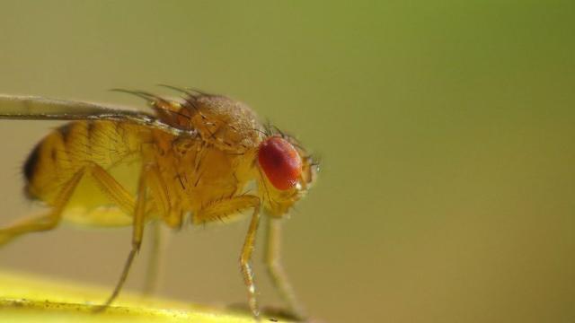 Las moscas de la fruta quisquillosas pueden detectar genes malos