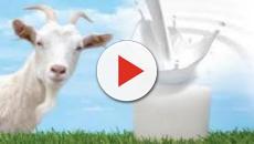 VÍDEO: La leche de la cabra y sus beneficios