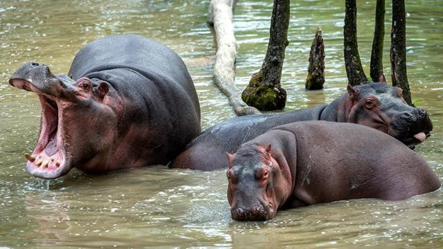 La carga de materia orgánica de los hipopótamos causa un deterioro ambiental