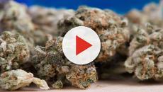 In USA, la marijuana potrebbe sostituire gli oppiacei nella cure oncologiche