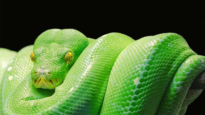 Contadina scomparsa in Indonesia: un serpente di sette metri l'aveva inghiottita