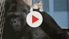 E' morta Koko, la gorilla che pianse per la morte di Robin Williams