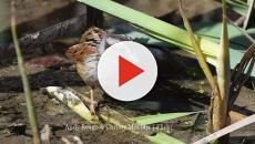Swamp sparrow research shows that their cultural learning is similar to humans