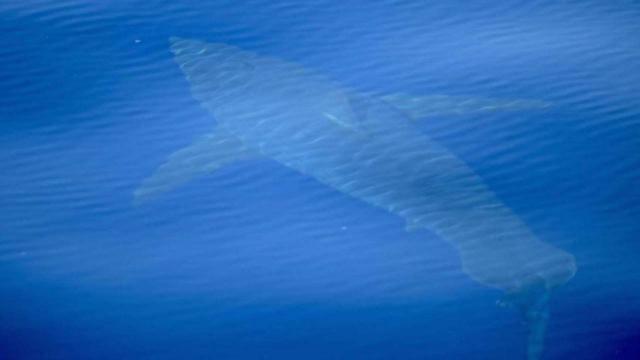 Balearic Island of Mallorca enjoys rare sighting of great white shark