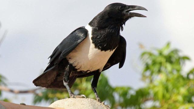 Couple in Yorkshire amazed by chatty crow that says 'Y'alright love?'