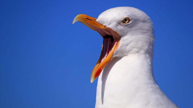 Seagulls in Devon, Dorset and Somerset reported to be drunk