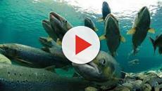 VÍDEO: En Chile se escapan al mar miles de salmones tratados con antibioticos