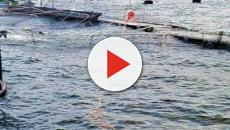 VIDEO: Salmones tratados con antibiótico causará graves daños al ambiente