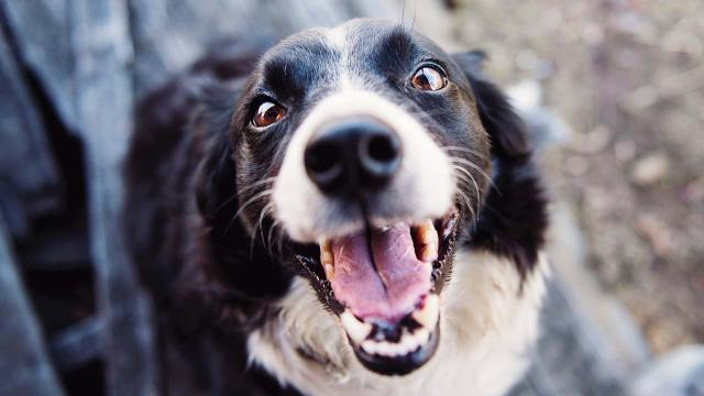 Study proves dogs run to their owners' aid when they are upset