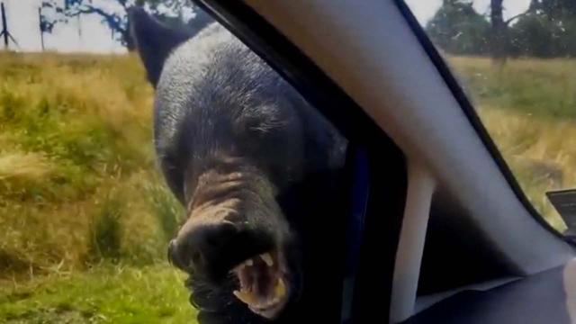 Black bear attacks family's car in Woburn Safari Park