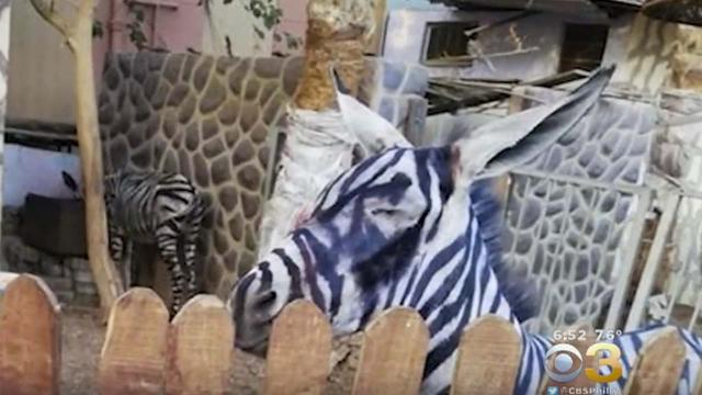 Man spots donkey painted to look like a zebra at Cairo, Egypt zoo