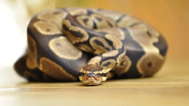 Woman shocked to find a royal python curled up in her bed in her Kensington flat