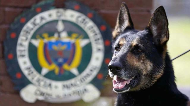 Famous Colombian drug-sniffing dog has a $7,000 price on her head
