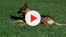 Avvelenato Kaos, il cane eroe di Amatrice