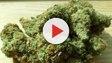 La Cannabis legale usata anche come cosmetico naturale