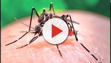 VÍDEO: Han detectado en España un mosquito transmisor de dengue y Chikungunya