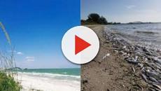 Vídeo: Persistente marea roja afecta Florida, y mata miles de especies marinas