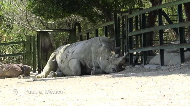 Male rhino charges car in Mexican safari park