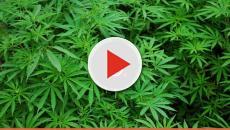 Google Maps scova una piantagione di marijuana: arrestato proprietario
