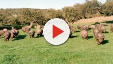 Video: Bote de peste porcina africana en granja en Shenyang, China