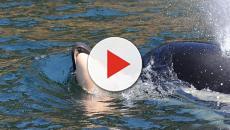 Mamãe orca que carregou o filhote morto por 17 dias foi vista sem ele no sábado
