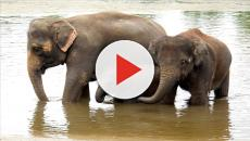 Los elefantes poseen un gen que les protege del cáncer