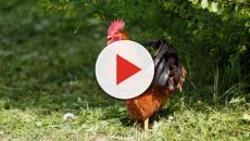 San Nazario, Vicenza: gallo ucciso perché troppo 'canterino'
