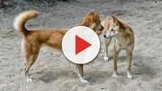 Western Australia to allow unregulated killing of dingoes