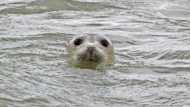 Forvie Nature Reserve seals stampeded by dogs wont' be treated as a crime