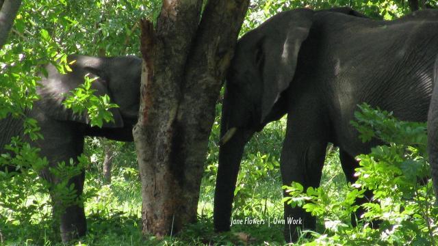 Botswana elephant poaching the worst Elephants Without Borders ever experienced