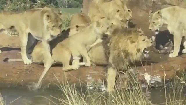 Male lion attacked by nine lionesses as UK safari park