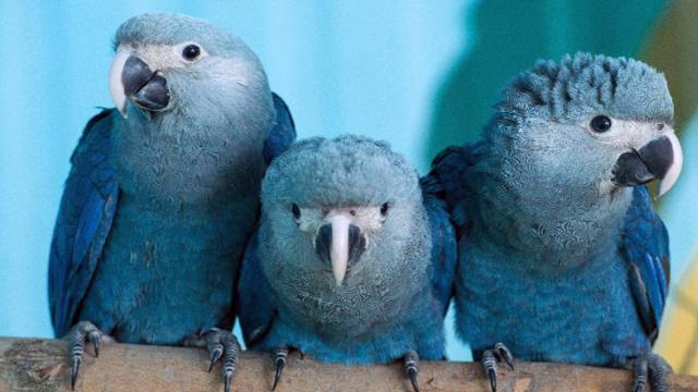 Il pappagallo blu Ara di Spix si è estinto in natura