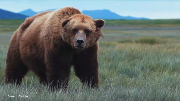 Grizzly bears ruled protected, hunts cancelled, celebrations on Twitter