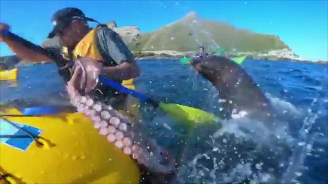 Nuova Zelanda, esemplare di foca lancia un grande polpo contro un canoista