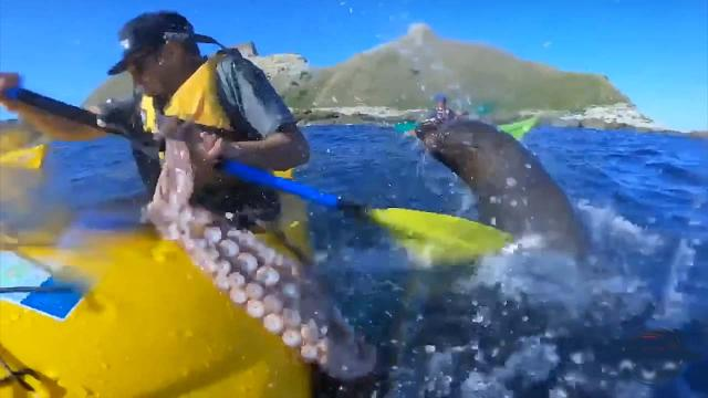 Kayaker gets a slap in the face from a seal, with an octopus