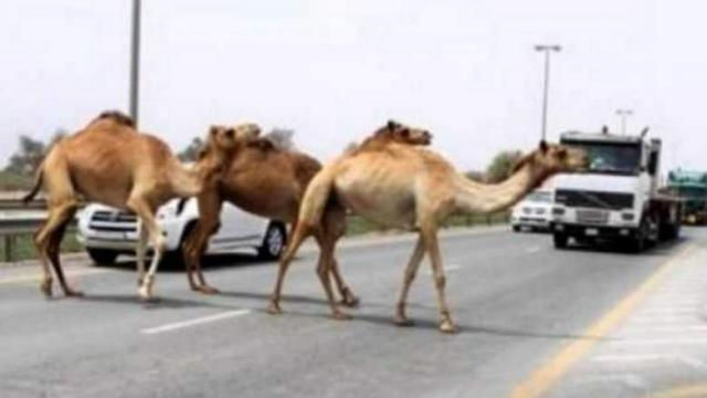 Saudi Arabia bans foreign camels from grazing its land