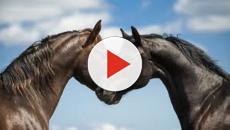 Les guêtres aux postérieurs des chevaux autorisées jusqu'en 2021