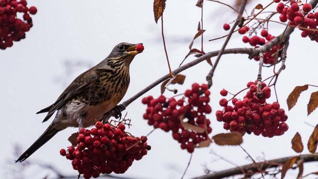 Birds in a Minnesota town are getting drunk and disorderly